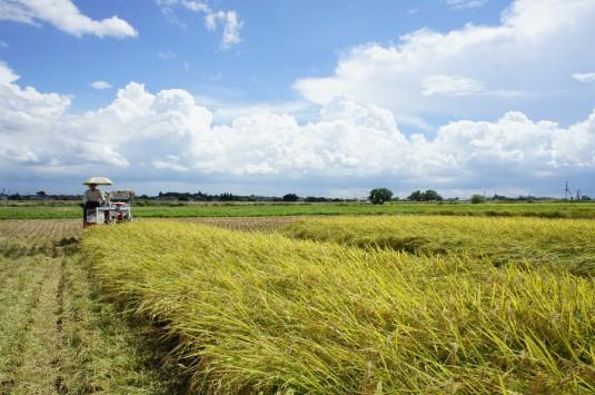 稲刈り遠景 2105